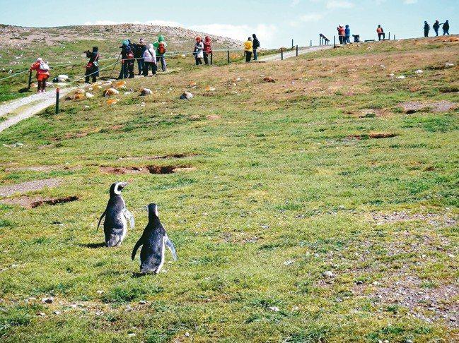 除了南極外,福克蘭群島住著大批國王企鵝、麥哲倫企鵝。