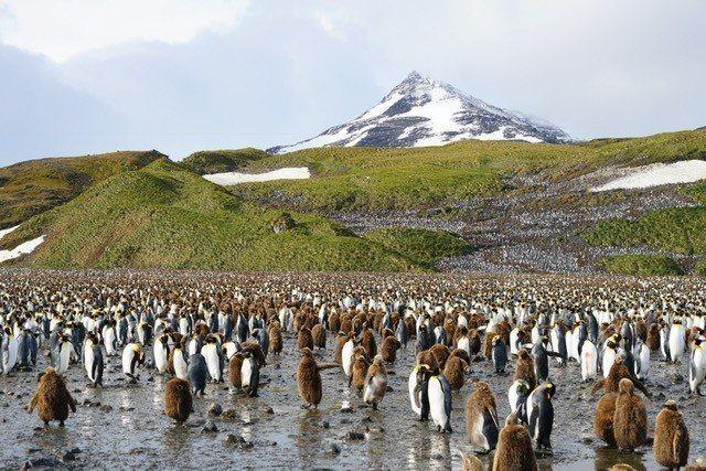 南極的企鵝大軍。 圖/姚謙提供