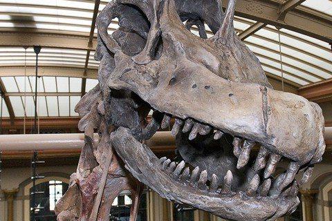柏林自然歷史博物館鎮館之寶的「長頸巨龍標本」。 圖/Museum für Nat...