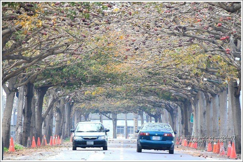 ↑蘋婆綠隧很寬敞,但仍要小心車輛。