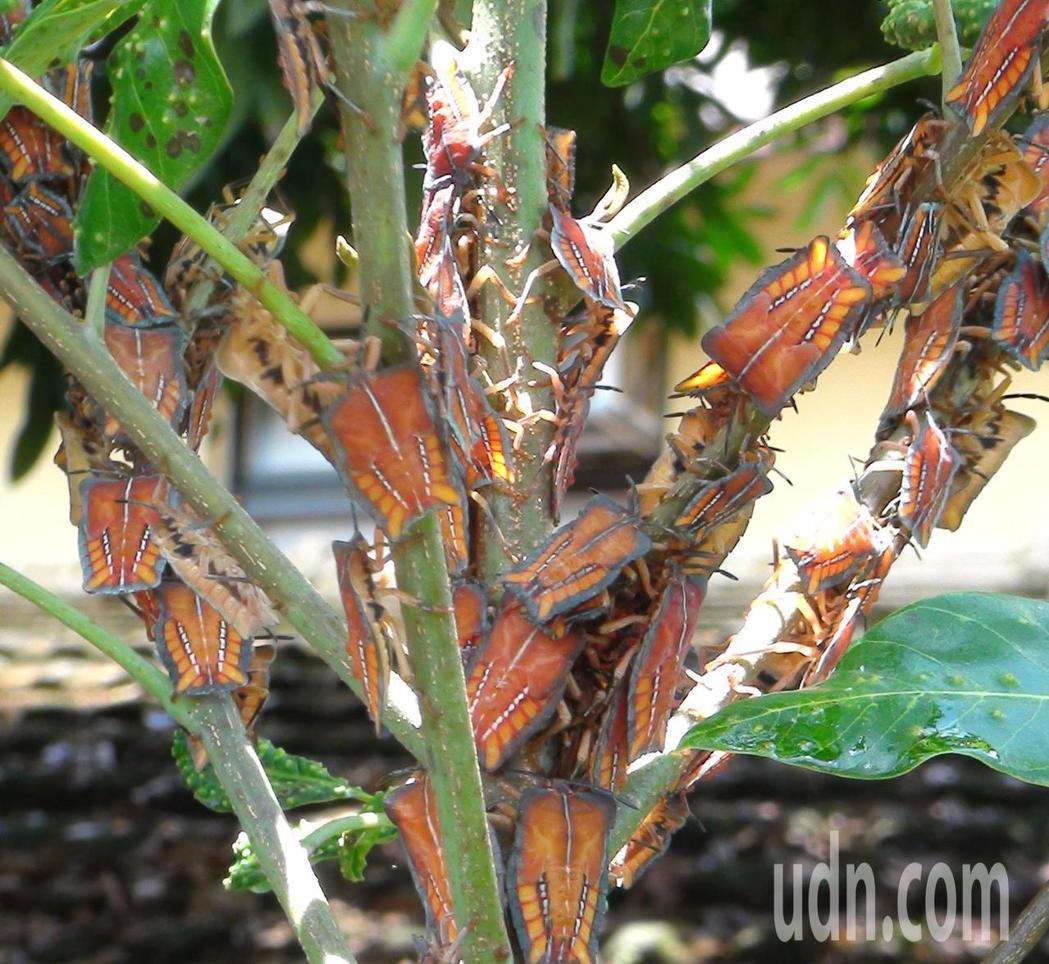 龍眼樹上佈滿荔枝椿象。記者謝恩得/攝影