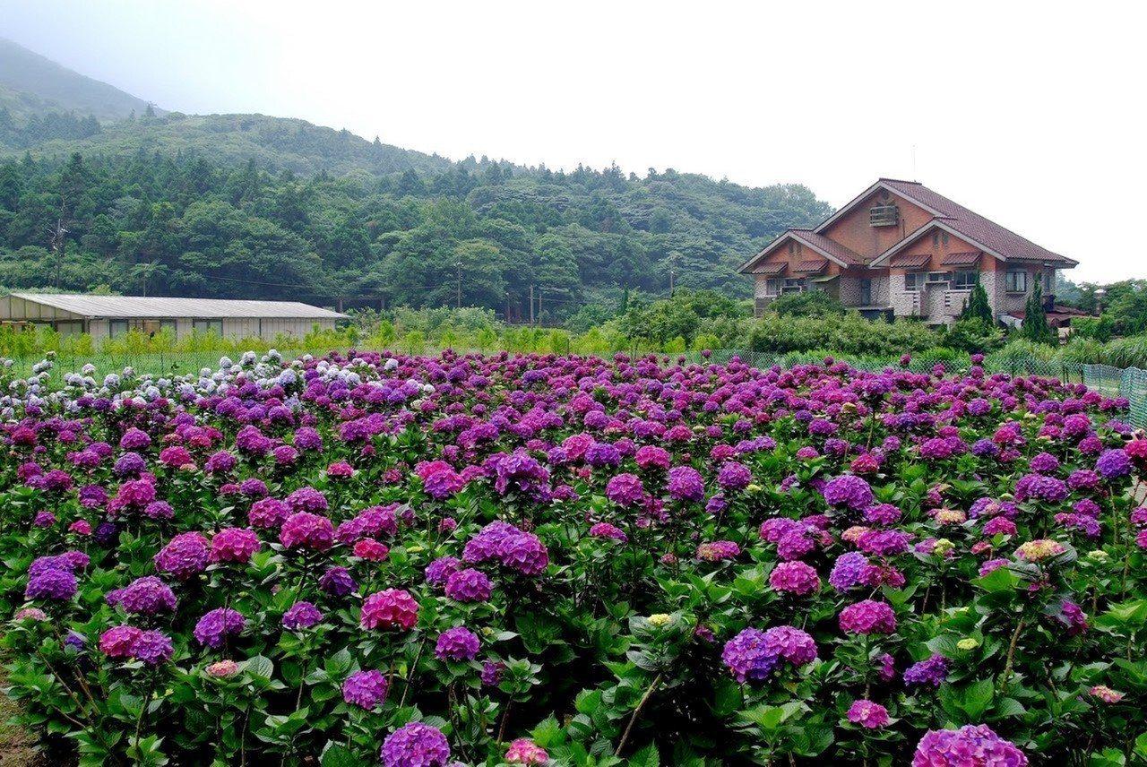 竹子湖繡球花將進入盛開期。圖/產發局提供