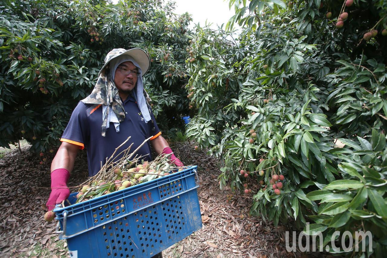 高雄大樹團農業師傅自去年開始支援玉荷包採收。記者劉學聖/攝影