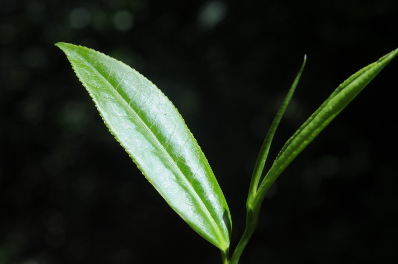 台灣山茶。圖/農委會林試所提供