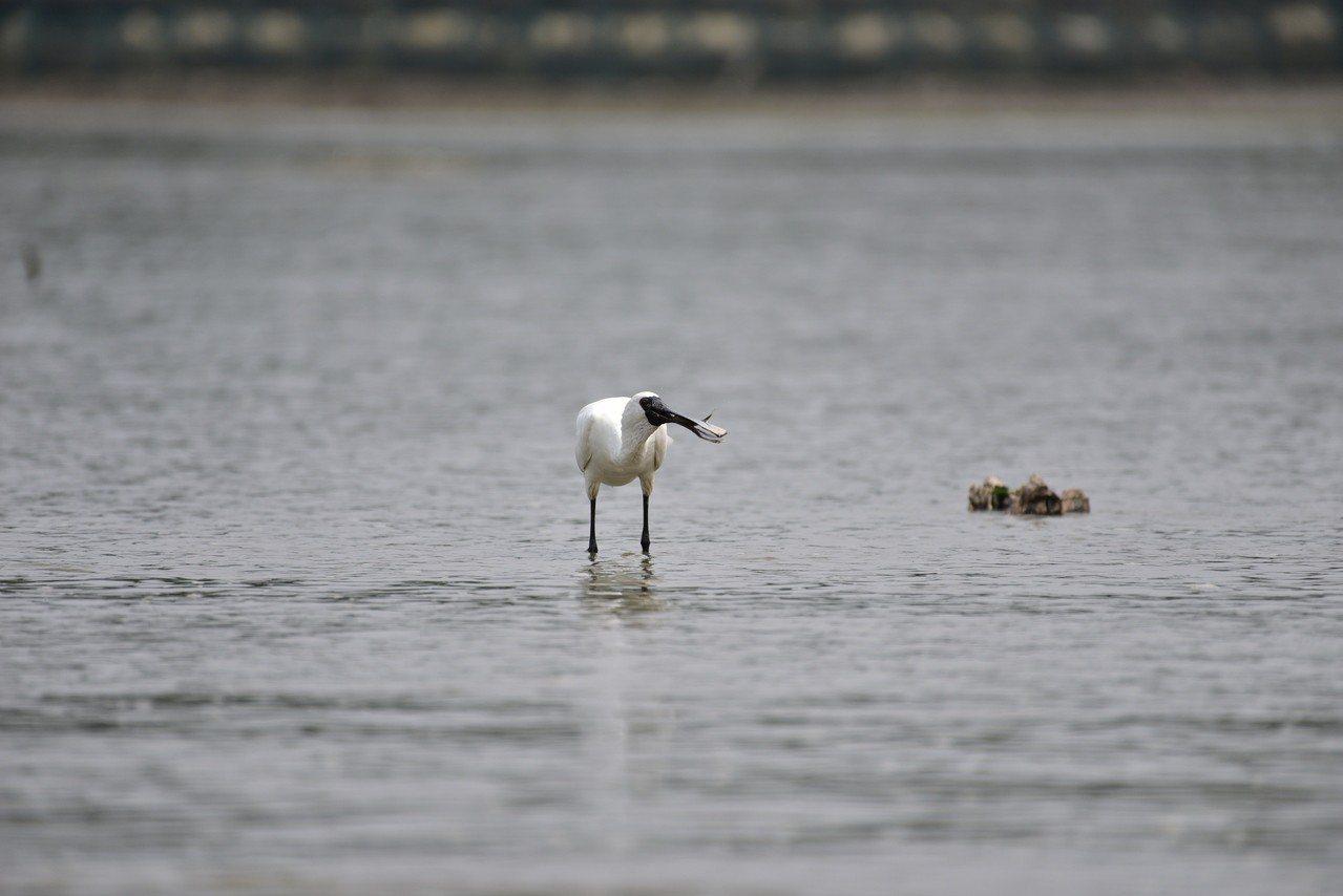 春天是南下渡冬水鳥北返季節,黑面琵鷺已陸續抵達香山濕地作客。圖/新竹市政府提供