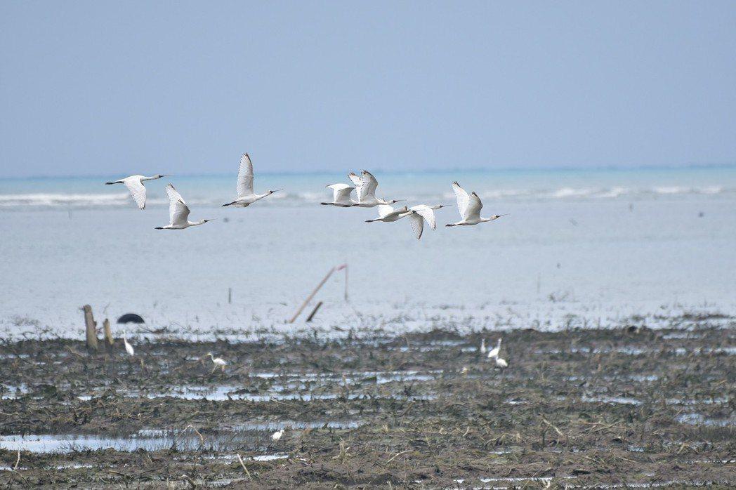 全球瀕危鳥種黑面琵鷺抵達香山濕地,在大庄區和金城湖區都能看到過境休息覓食的黑面琵...
