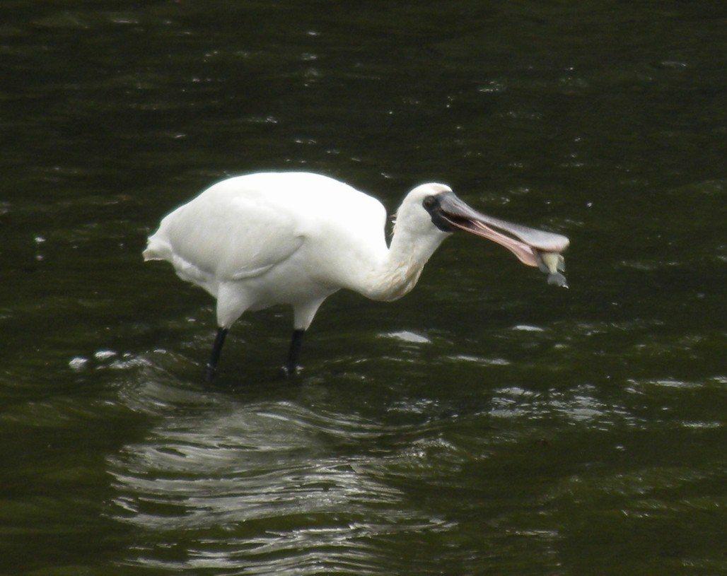 新竹香山濕地是黑面琵鷺渡冬棲息地之一,今年停留數量增加。圖/新竹市政府提供