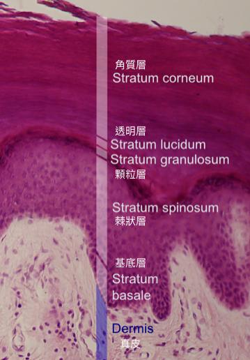 人類表皮層的結構。維他命 D 在基底層與棘狀層合成,黑色素則是由位在基底層的黑色...