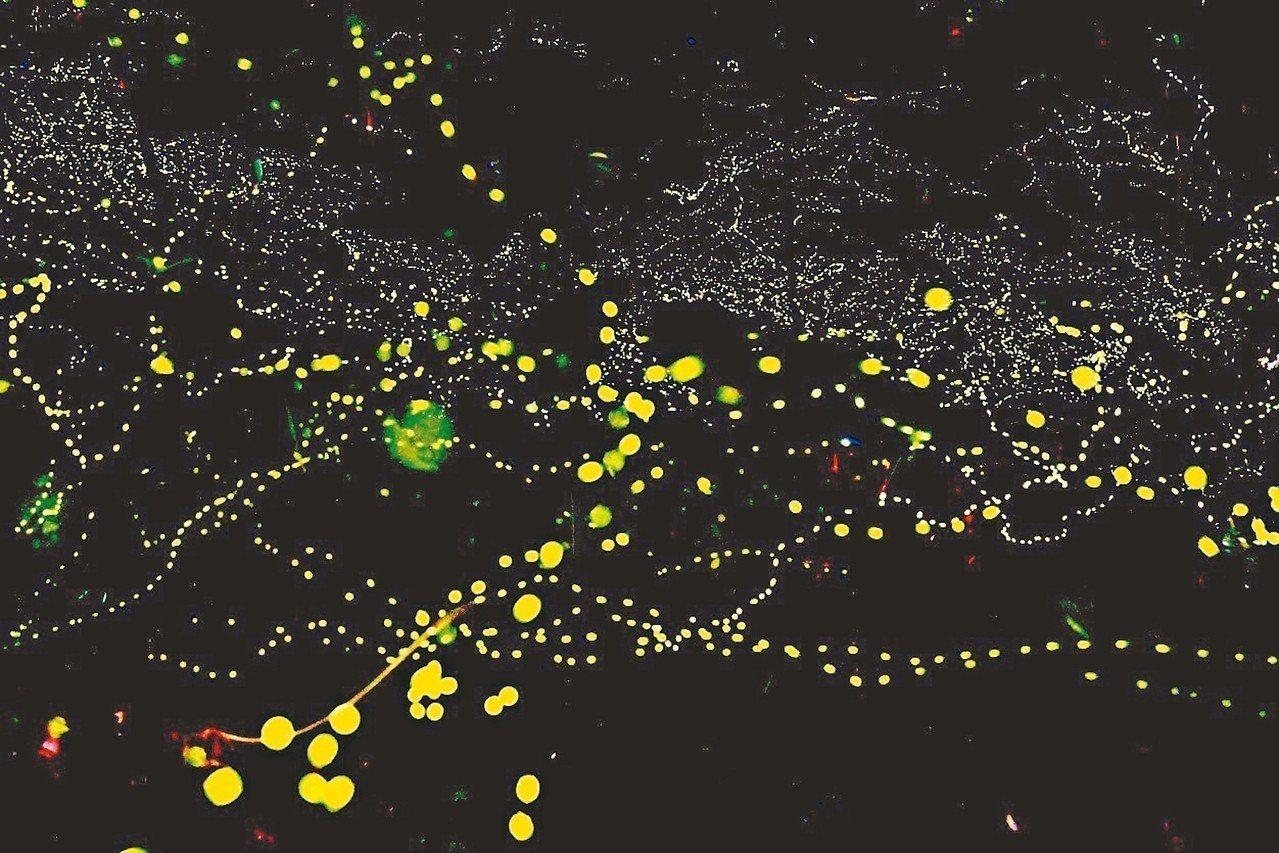 去年沒有大颱風,宜蘭今年螢火蟲數量大爆發。 圖/居悠谷農莊提供