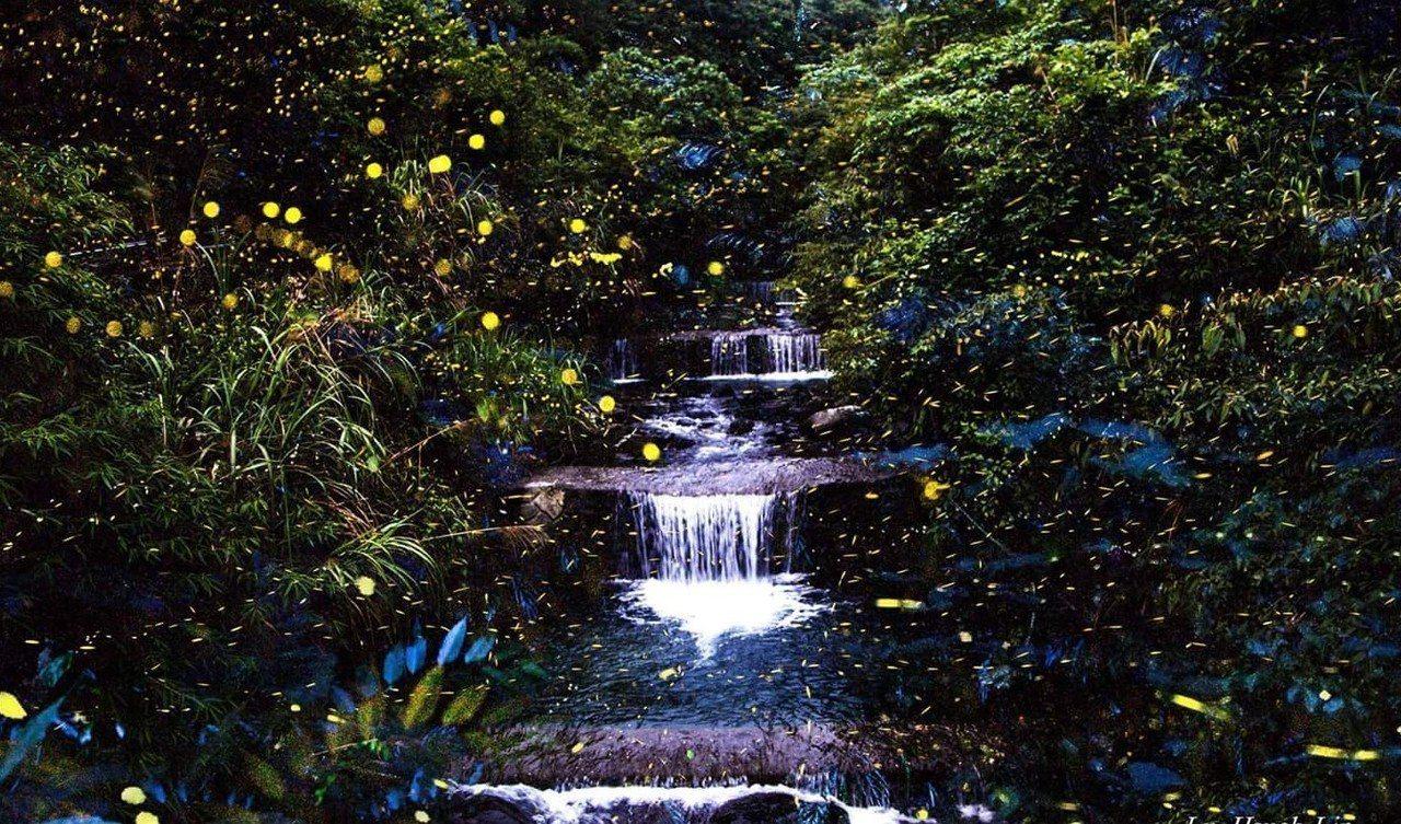 宜蘭今年螢火蟲數量大爆發,原因是去年沒有大颱風,讓幼蟲得以順利成長。 圖/翻攝呂...