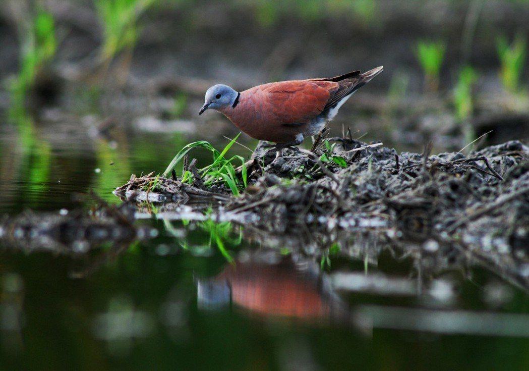 紅鳩也是遭高鐵撞擊致死常見的鳥種。 圖/賴仲由提供
