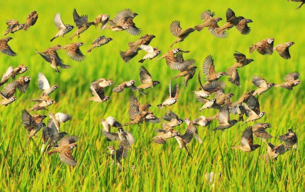 麻雀是高鐵列車最常撞擊的鳥種。 圖/賴仲由提供