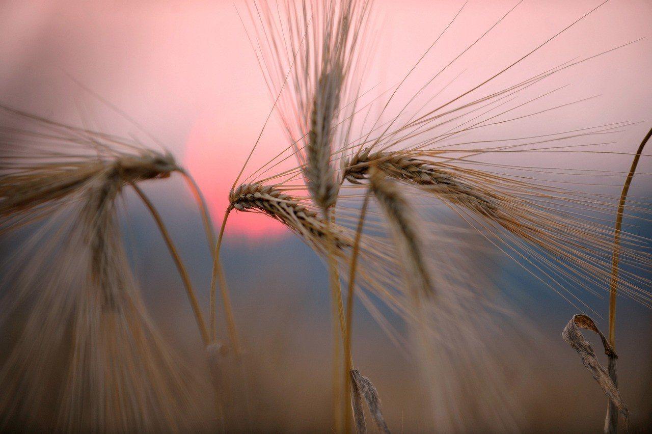 麥穗沐浴在夕陽的餘暉中,別具韻味。 新華社照片