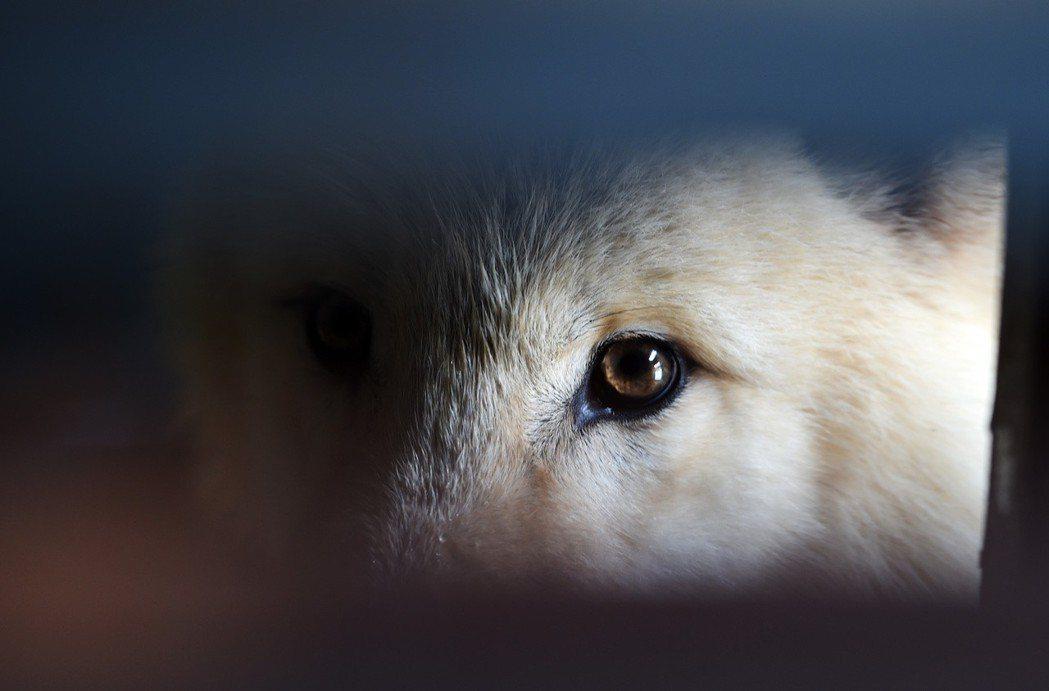 一隻北極狼在哈爾濱極地館的圈舍裏。 新華社照片