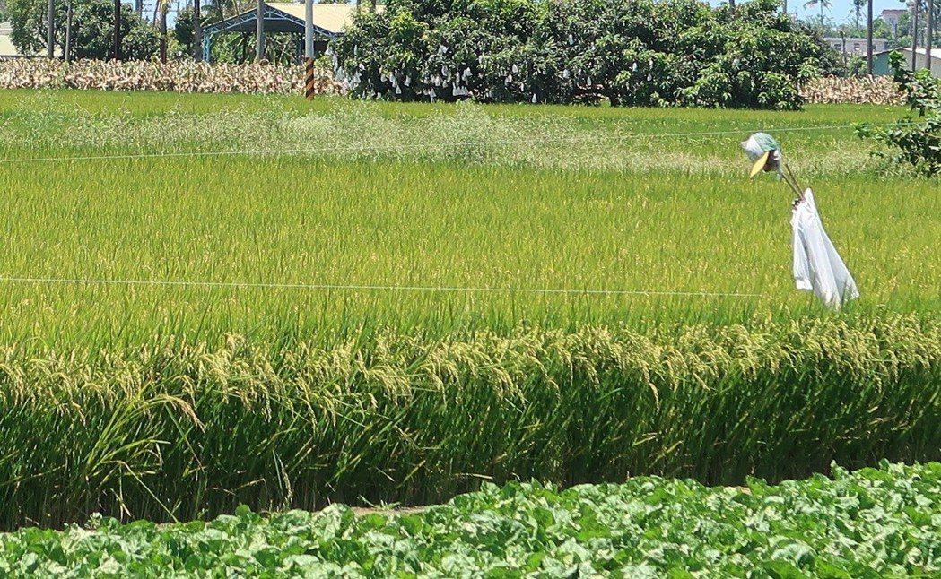 衛生局提醒,國內傳播日本腦炎病媒蚊以三斑家蚊為主,喜好於豬舍、水稻田、禽舍等環境...