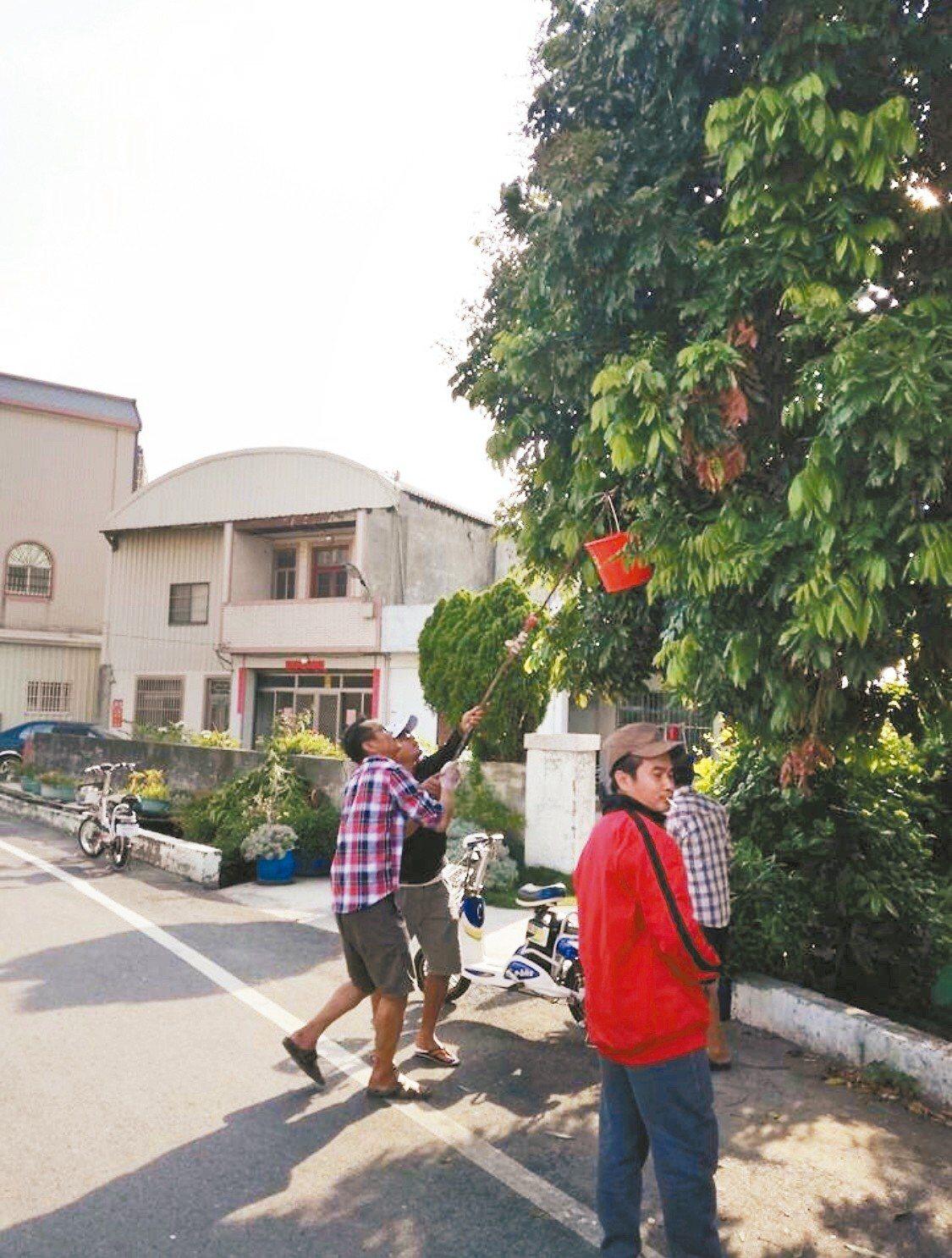 彰化縣和美鎮里長黃合志看到泰國移工在抓荔枝椿象,一問才知荔枝椿象在當地被當成美味...