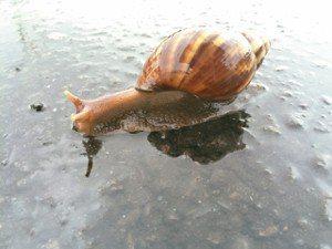 在雨中發現非洲大蝸牛。
