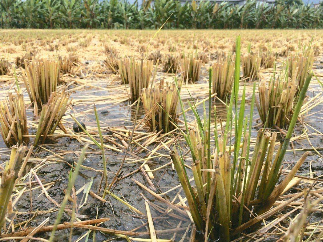 才剛剛割下的稻子,已長出了青綠色的稻苗。