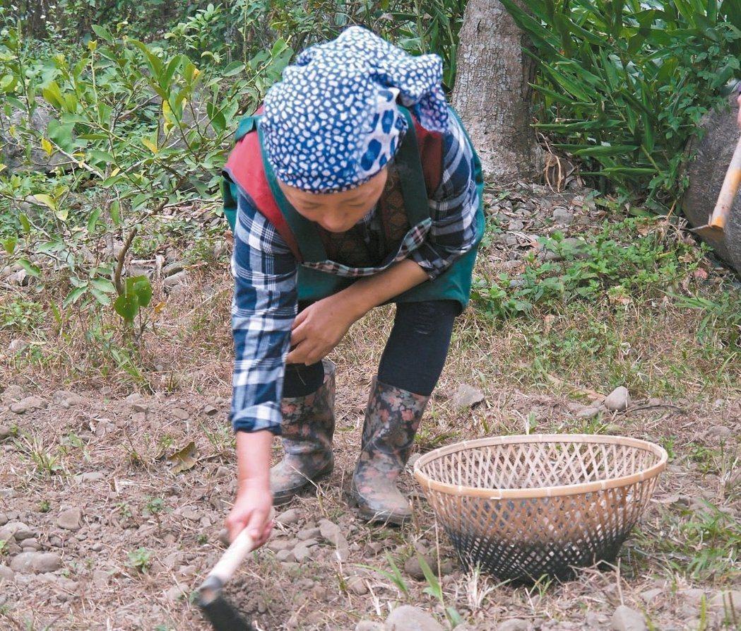 「混種」是部落農耕智慧,同一塊土地上不只種單一作物,如此可以分散風險、增加作物多...