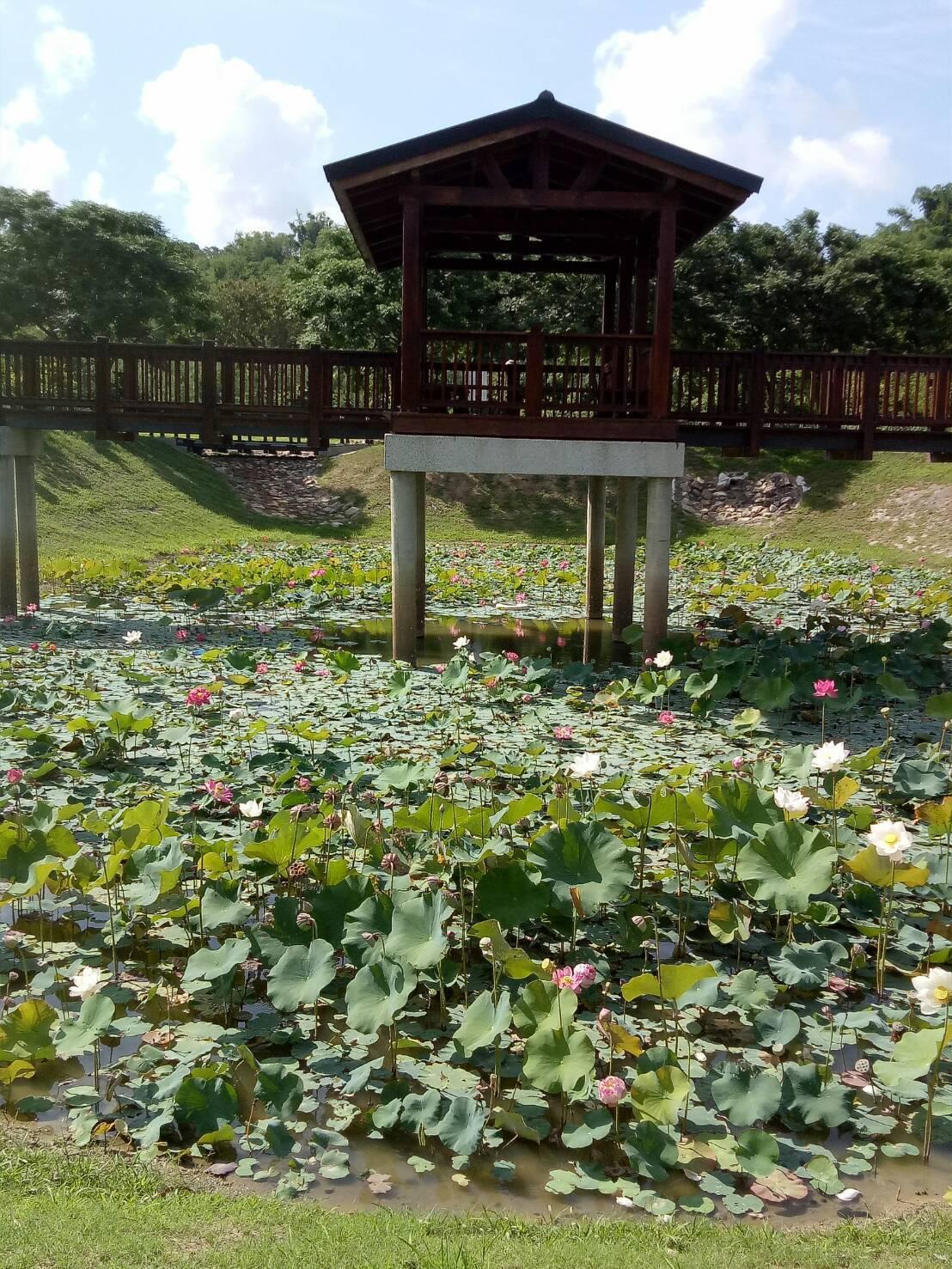 台南水道淨水池夏天荷花登場。圖/文化局提供