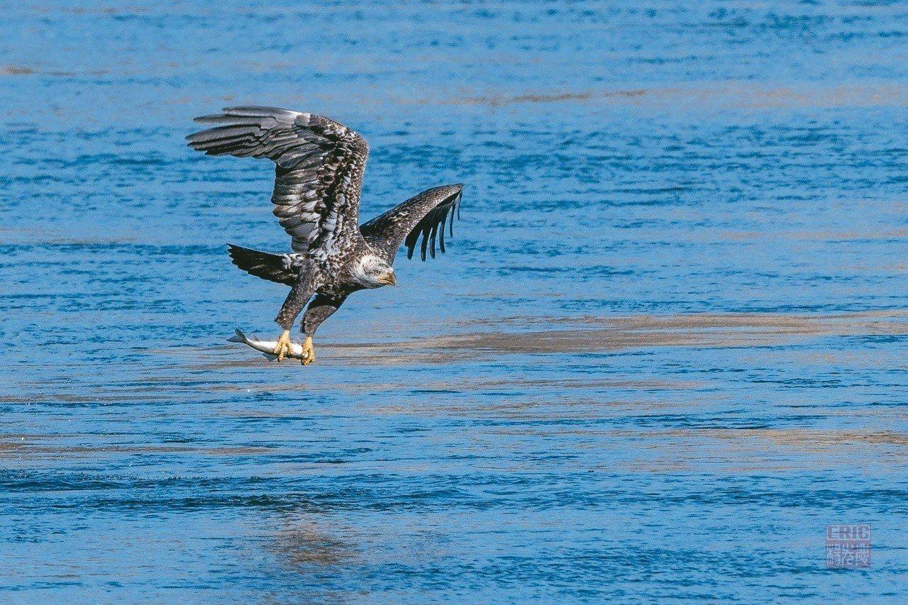 碩大的黑鱸魚被白頭鷹一扣即起,掠向空中。