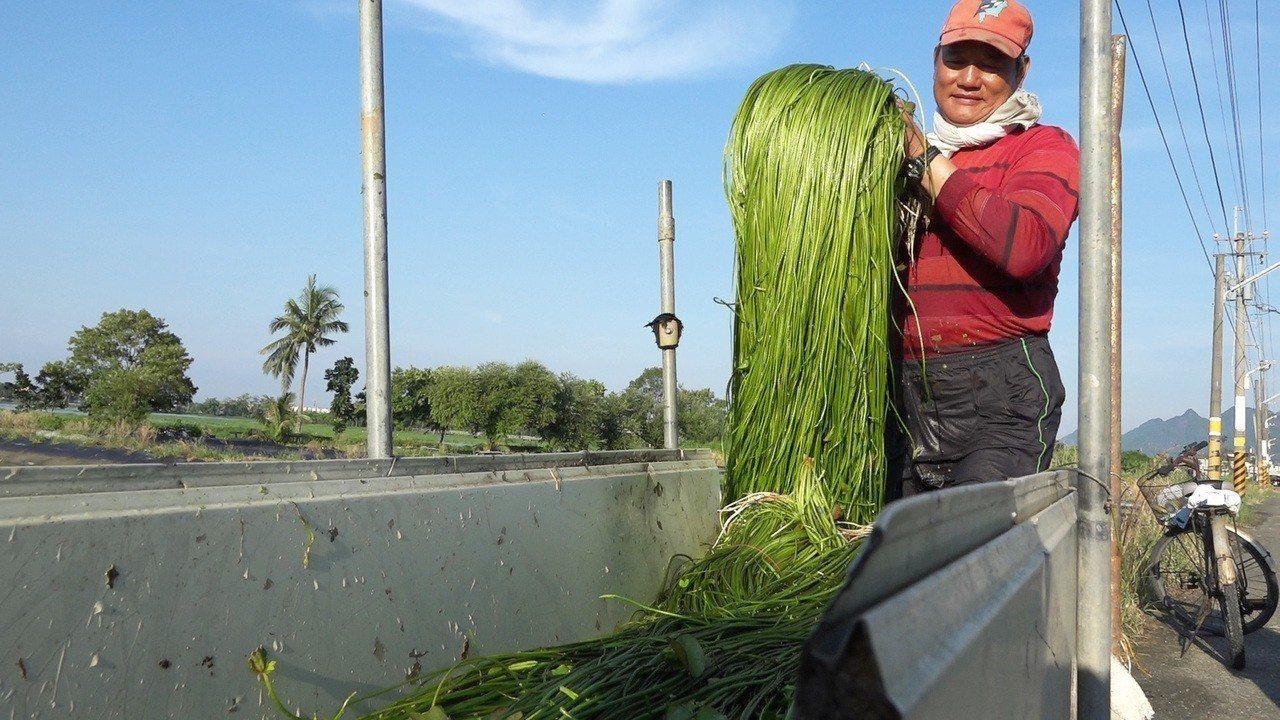 待收成的水蓮莖長達90公分以上,從種植到採收都相當耗費人力。圖為李煥生整理採收後...