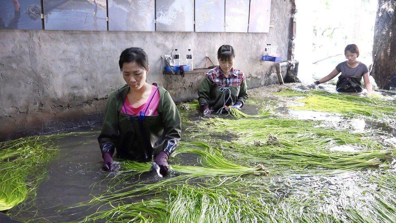 男性自田中採收水蓮後,女性在水槽中進行清洗的後續工作。