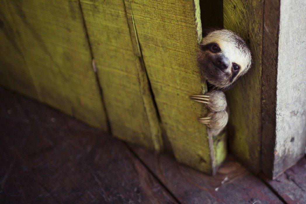 哥斯大黎加,是世界上最快樂的國家嗎?圖為哥國特產,樹懶。 圖/路透社
