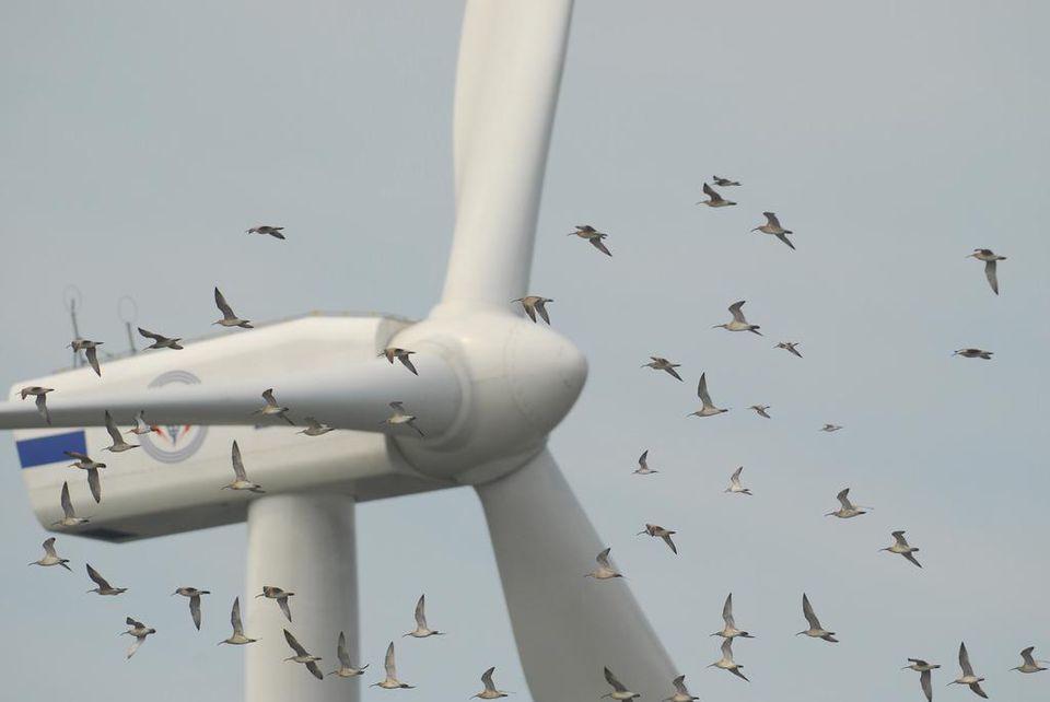 渦輪式風力發動機每年殺死成千上萬的鳥。翻攝自網路
