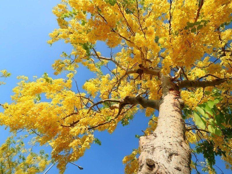 阿勃勒花開滿樹頭,相當耀眼(照片為蔡順和提供)