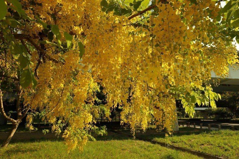 花朵如鈴鐺般地下垂,有如黃金雨(照片為蔡順和提供)