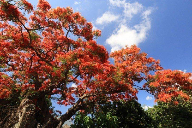 橘紅色的鳳凰花,在藍天下相當搶眼(照片為蔡順和提供)