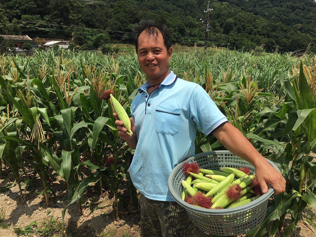 石門區出磺口的農友自行培育玉米及玉米筍,這裡的玉米筍還可以生吃,甜度更勝水果還有...