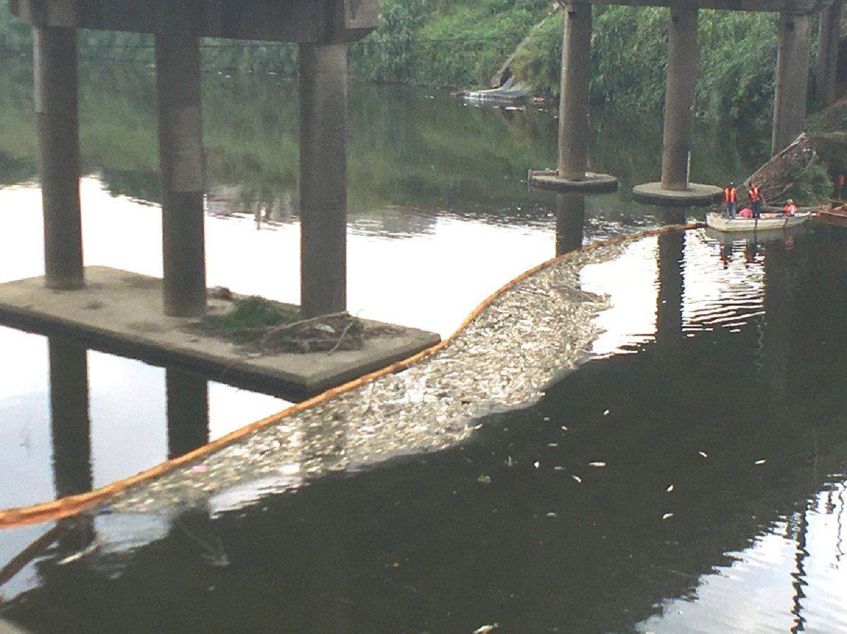 汐止基隆河魚群大量死亡,市府人員在社后橋下設置攔油索攔截死魚,但因為惡臭引來民眾...