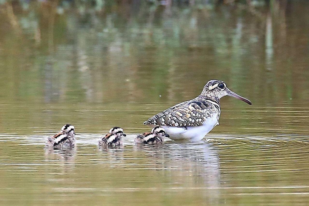 五和里水塘的彩鷸母子圖。圖/蔡阿榮提供