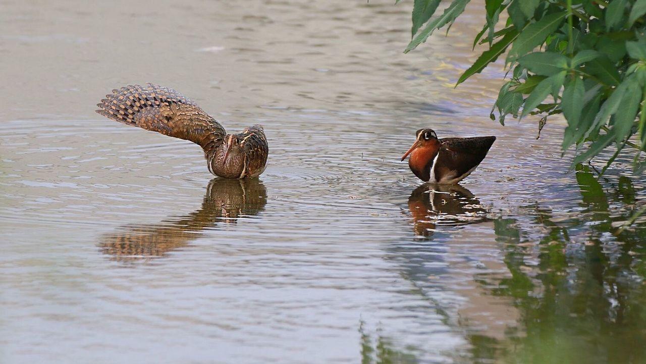 彩鷸在池中嬉戲,悠遊自在。圖/張德發提供