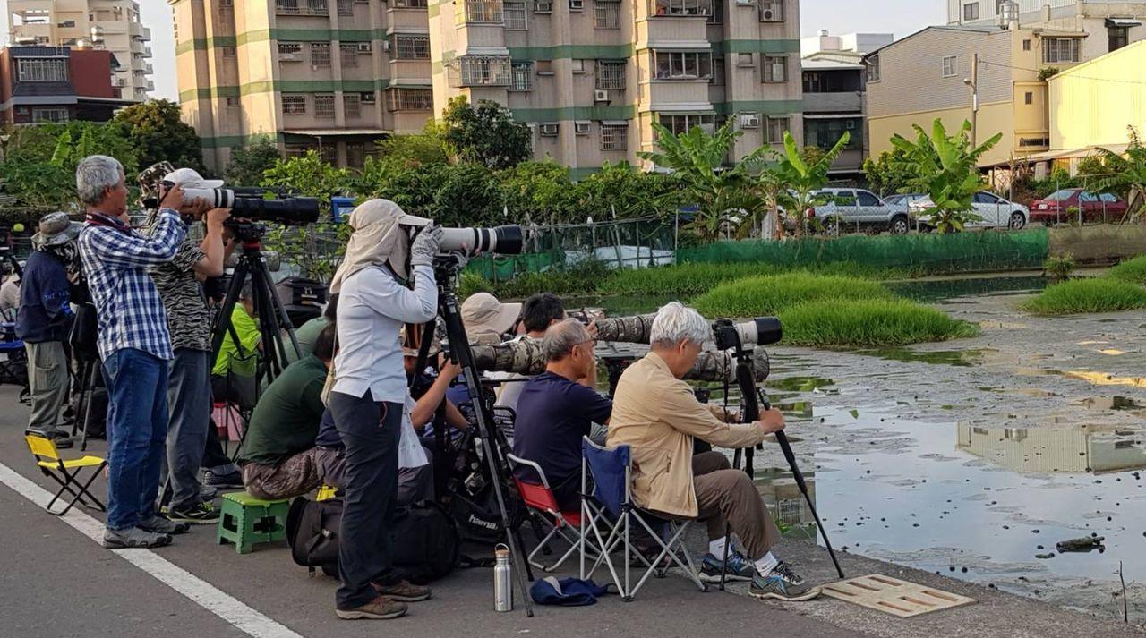 高雄市仁武區五和里水塘有彩鷸現蹤,吸引各地「鳥友」爭相拍攝。圖/吳惠儀提供