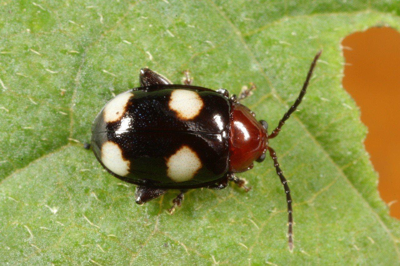 以發現者余素芳命名的素芳溝腳葉蚤。圖/曹美華提供