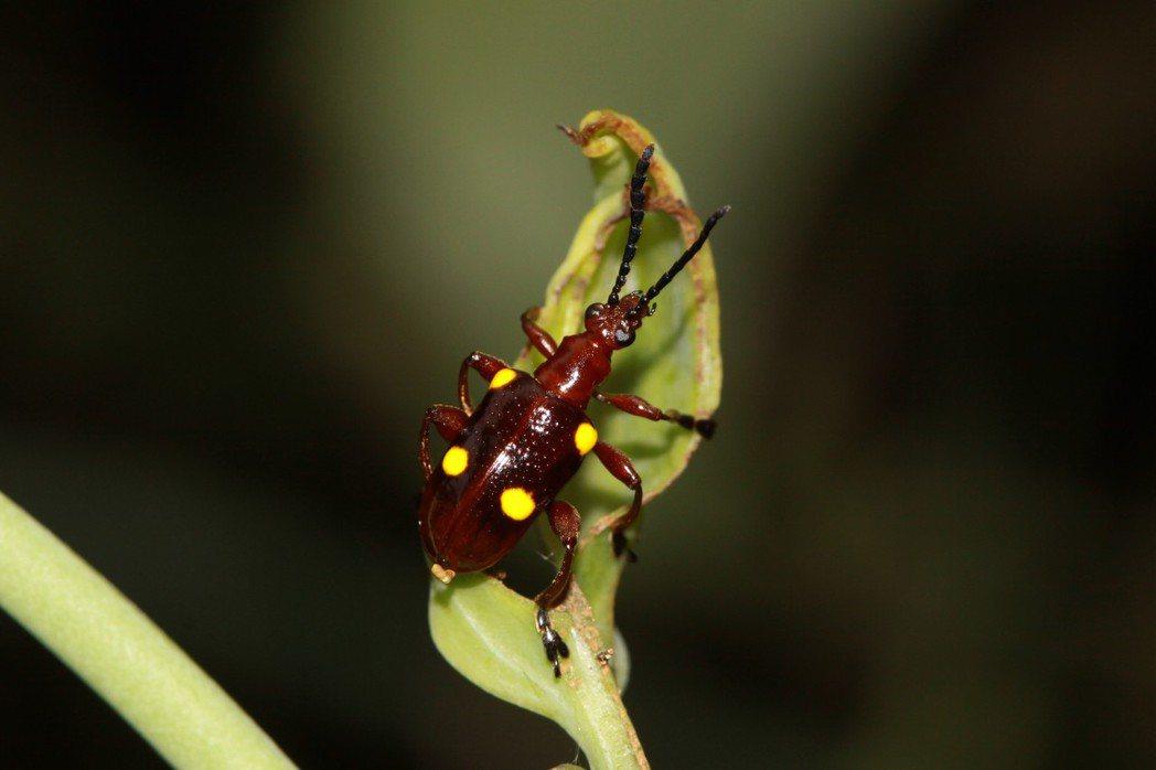 以菝葜屬植物為食的三輪氏長頸金花蟲。圖/曹美華提供