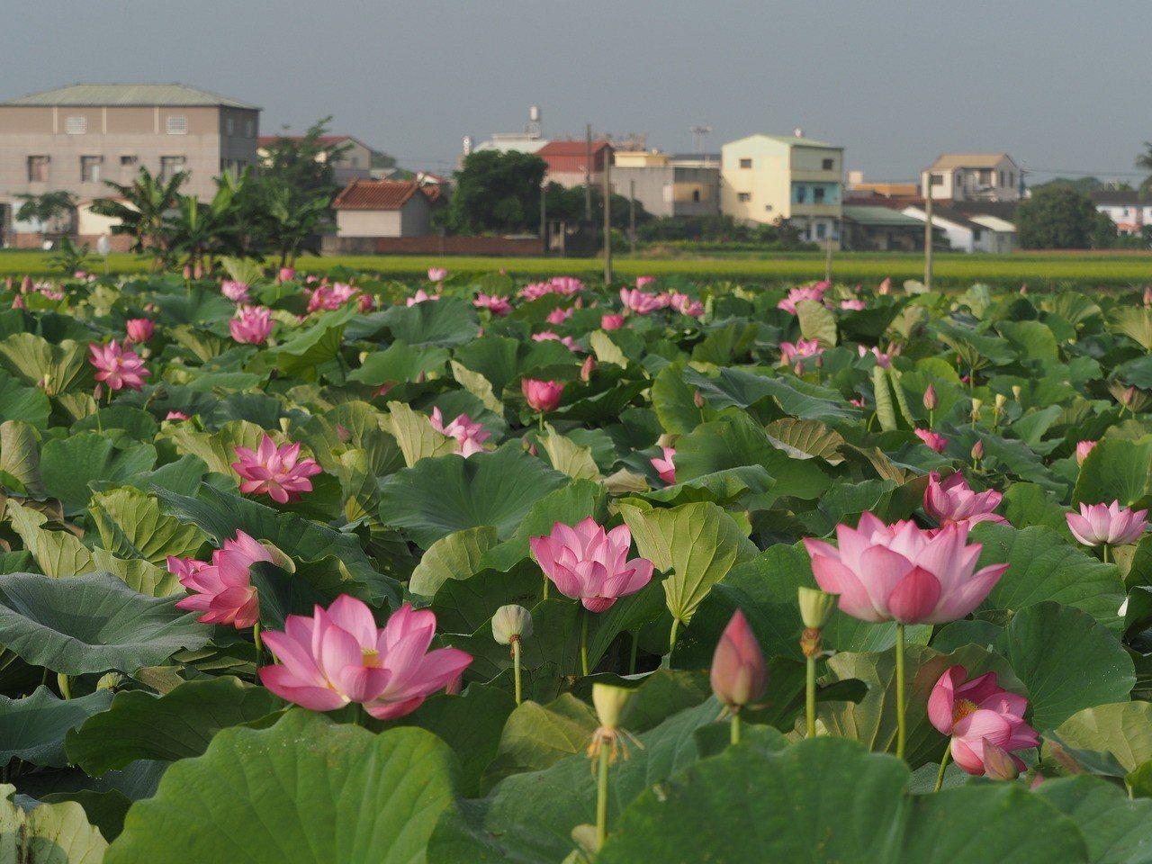 白河蓮花盛開,為南台灣帶來一年最美的夏日景色。 朱家瑩/攝影