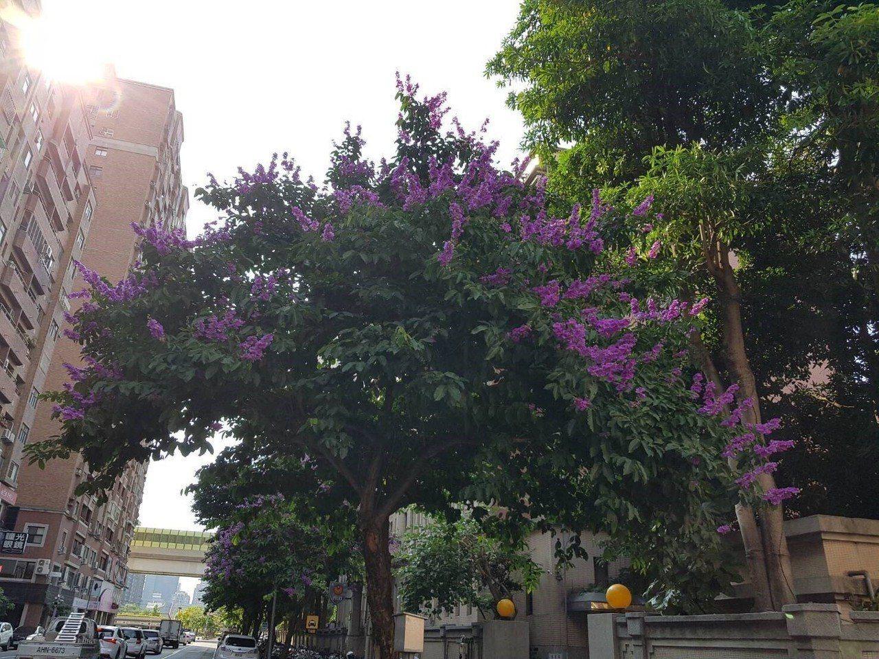 有豔麗紫花的大花紫薇進入花期,在台中各角落盛開。圖/台中市建設局提供