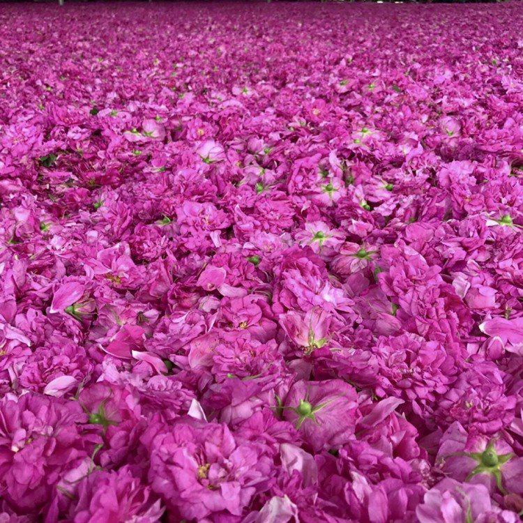 山東平陰原生種的重瓣食用玫瑰,清晨摘取最能保存珍貴的精油成分。圖/錢欽青、張繼欄