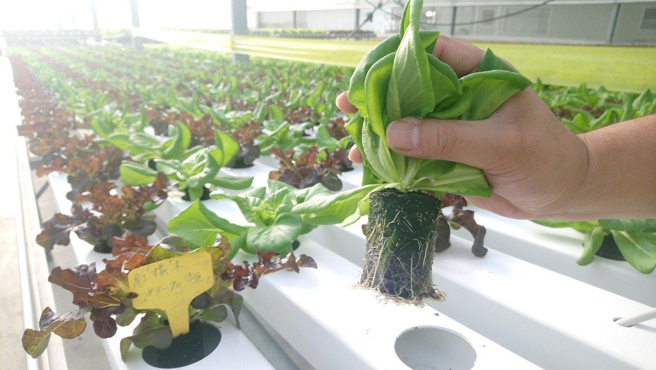 高科技溫室種植的萵苣,所用的土壤都是進口。卜敏正/攝影