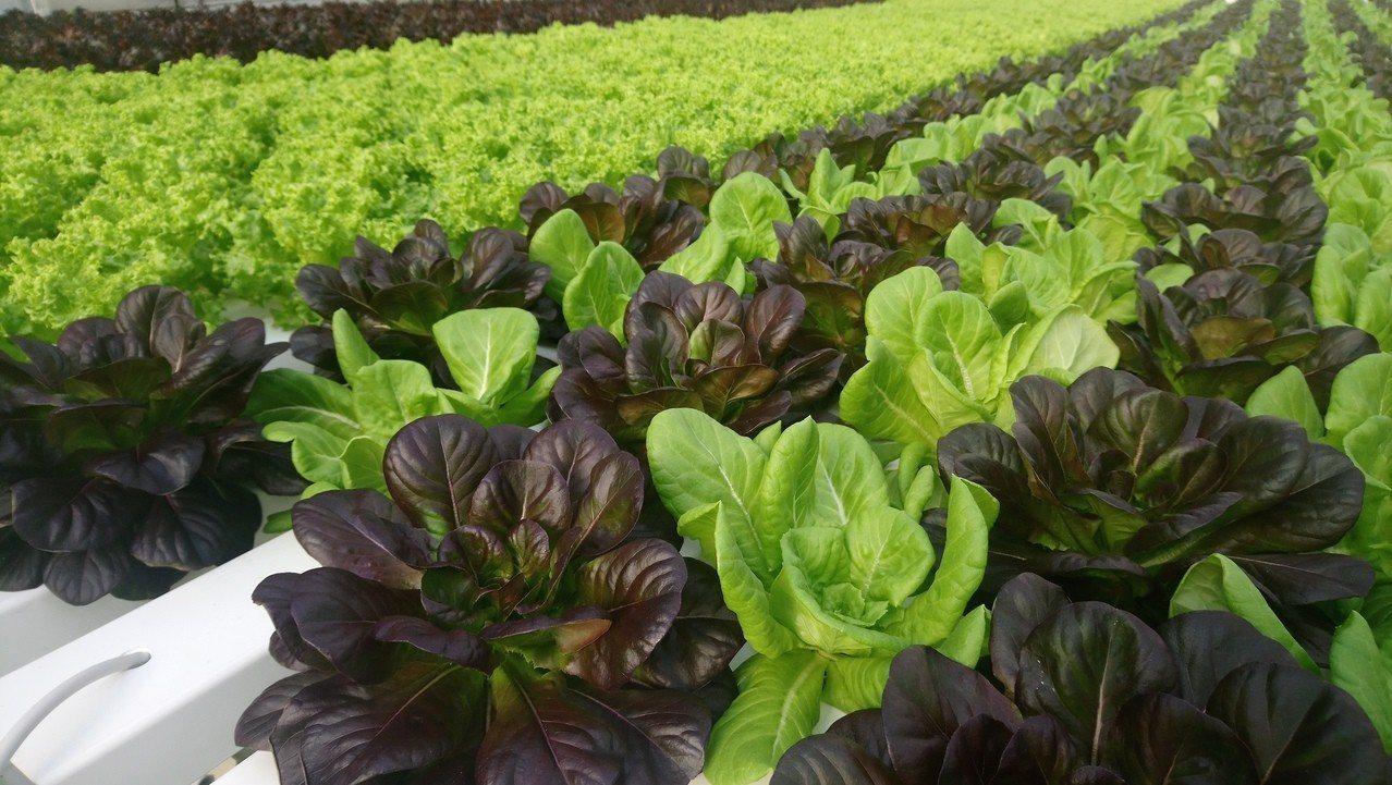 透過高科技溫室,種植高品質、高價值萵苣。記者卜敏正/攝影