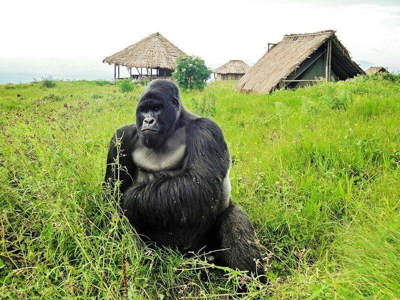 世界著名生態景點維龍加國家公園,因剛果民主共和國局勢不穩,4日宣布暫停開放,直至...