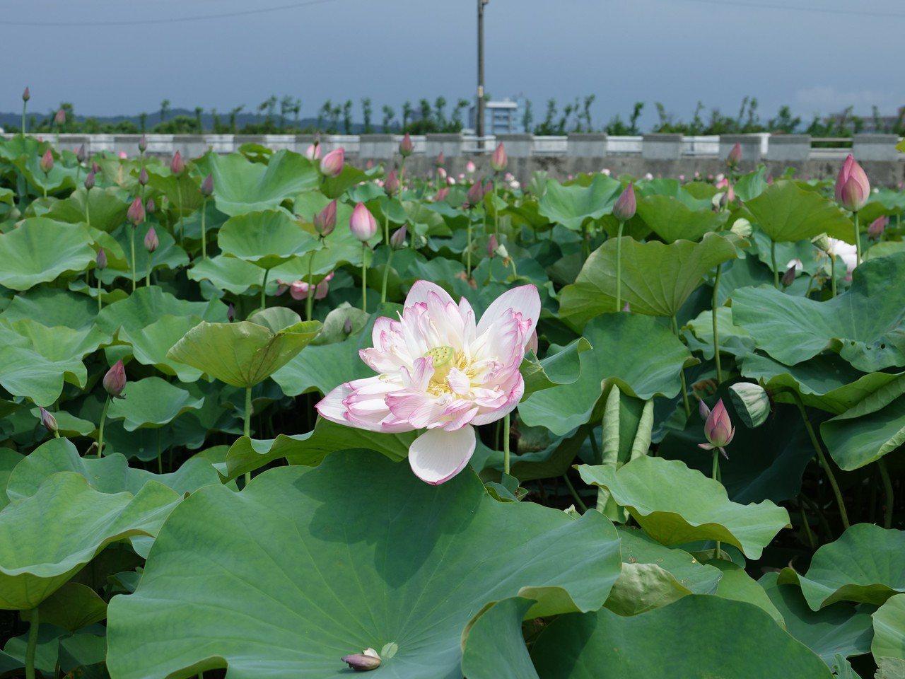 金山清水農地蓮花已逐漸盛開。圖/金山區公所提供