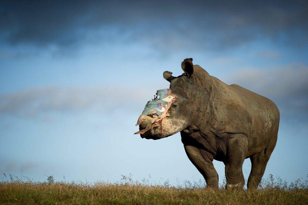 犀牛的盜獵連續四年超過一千隻,也意味著每八小時就有一隻犀牛慘死於盜獵下。 圖/歐新社
