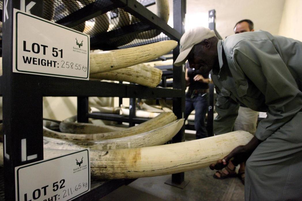 全非洲每年約有三萬五千隻大象被盜獵。 圖/歐新社