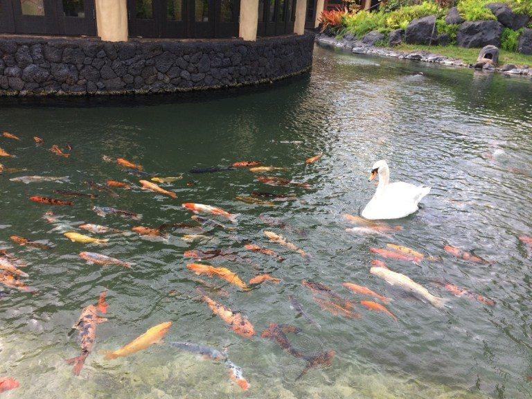順道一提,Tidepools餐廳外圍是被池塘圍繞著,水裡有鯉魚跟白天鵝,每天早上...