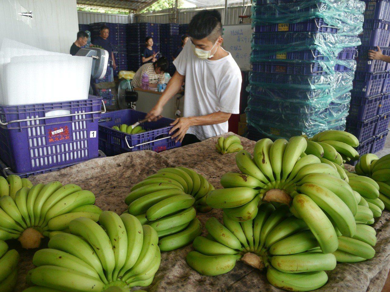 農委會啟動格外品採購,高市旗山集貨場一堆香蕉等著處理。記者徐白櫻/攝影